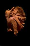 Betafischschwimmen auf schwarzem Hintergrund Stockfotos