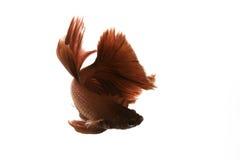 Betafischschwimmen auf weißem Hintergrund Lizenzfreie Stockfotografie
