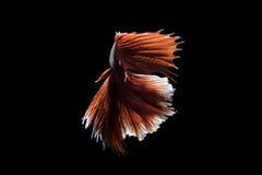 Betafischverschiebung auf schwarzem Hintergrund Stockbilder