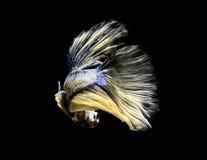 Betafischverschiebung auf schwarzem Hintergrund Lizenzfreie Stockfotos