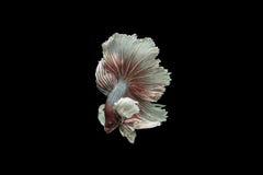Betafisk Arkivfoton