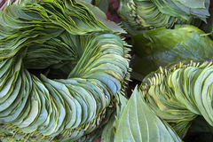 Betal Leaf - Myanmar Royaltyfria Foton