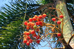 Betal nuts. Fruit on the tree with sky background royalty free stock photography