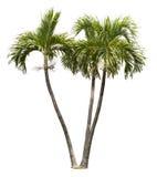 Betal palmträd som isoleras på vit Royaltyfri Fotografi