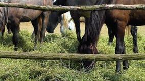 Betande ätamatning för häst i ett korallhö lager videofilmer
