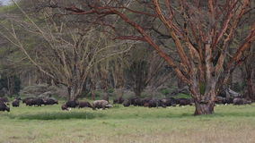 Betande afrikanska bufflar