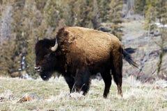 betande bergensling för bison Royaltyfria Bilder