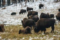 Betande bison Arkivfoto