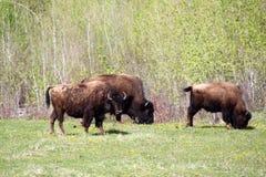 Betande Bison Arkivbilder