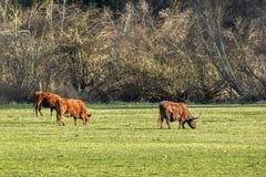 Betande boskap i fält Royaltyfria Foton