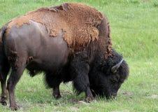 Betande buffel Arkivfoto