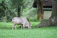 Betande buffel på ön av Sri Lanka Royaltyfria Foton