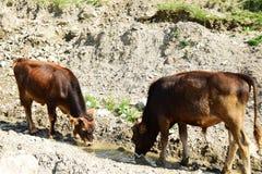 Betande Caucasian tjurar i de Kaukasus bergen arkivbilder