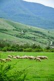 betande får för flock royaltyfri bild