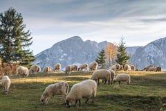 betande får för flock arkivbild