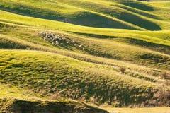 Betande får i det härliga tuscan landskapet Arkivbild
