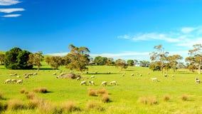 Betande får i lantliga södra Australien Fotografering för Bildbyråer