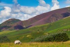 Betande får i Latrigg som förbiser Keswick och Derwent vatten, Royaltyfria Bilder