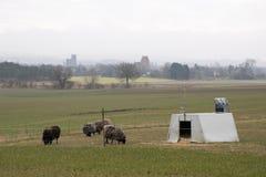 Betande får på ett fält med mest forrest och en kyrka i bakgrunden fotografering för bildbyråer