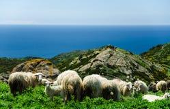 Betande får på kusten av Sardinia Arkivfoton