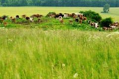 betande flock för kor Arkivbild