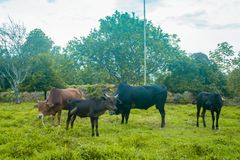 Betande gräs för ko i fält Royaltyfria Foton