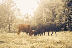 Betande gräs för ko i fält arkivbild