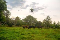 Betande gräs för ko i fält royaltyfri fotografi
