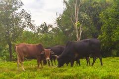Betande gräs för ko i fält royaltyfri foto