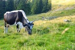 betande grön äng för kor Arkivbild