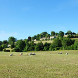 betande gröna får för fält Royaltyfria Foton