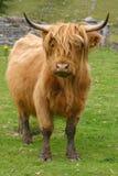 Betande grönt gräs för höglands- aberdeen angus ko Arkivfoton