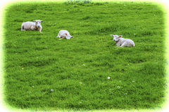 betande green betar sheeps Royaltyfri Bild