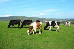 betande grön äng för kor Arkivfoto