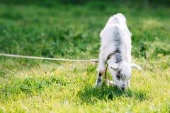 Betande gullig goatling på grön äng Fotografering för Bildbyråer