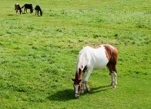 betande häst royaltyfria bilder