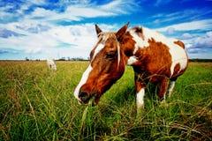 betande häst Royaltyfri Foto