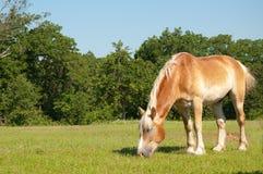 betande häst för belgiskt utkast Arkivbilder