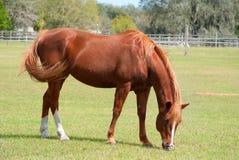 betande häst för fält Arkivfoto