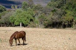 betande häst för fält Arkivbilder