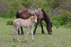 Betande häst med fölet Arkivfoton