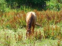 Betande häst på en solig dag Royaltyfria Bilder