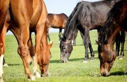 Betande hästar Royaltyfria Bilder