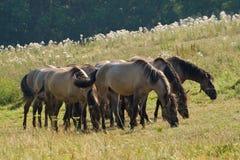 betande hästar Royaltyfri Fotografi