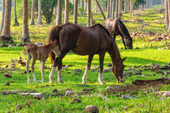 Betande hästar - Espiritu Santo Fotografering för Bildbyråer