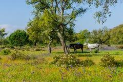 betande hästar för fält fotografering för bildbyråer