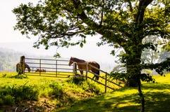 Betande hästar i ett fält under ett stort träd Fotografering för Bildbyråer