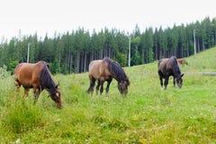 Betande hästar på backen Fotografering för Bildbyråer
