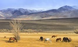 Betande hästar på foten av bergen Arkivbilder