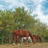 Betande hästar på lantgårdranchen Arkivbild